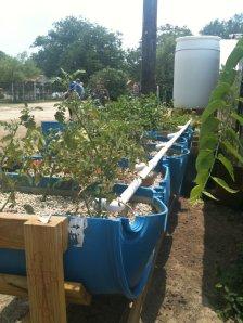 aquaponics setup at Sunny Day Farms