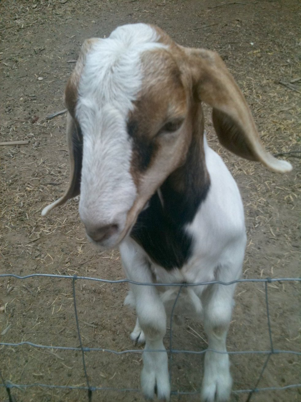 Rudy, a young goat at Sunny Day Farms