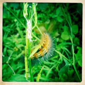 garden caterpiller