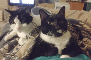 two black and white cats on my lap trying to stay warm