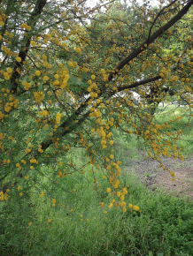 acacia in flower