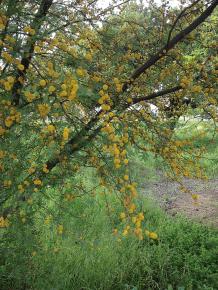 acacia in flower