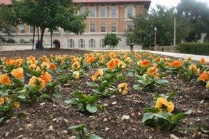 pansies growing in rows