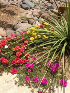 Portulaca and sotol May 2012